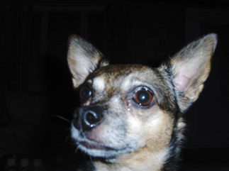 chichi_chihuahua-senior-dog-by-tazer